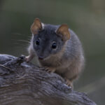 The Yellow-footed antechinus is one of the creatures we aim to maintain a home or by caring for its habitat. Photo by Danny McCreadie