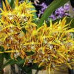 Native Orchid Society of South Australia