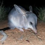 Greater-Bilby_Alexandra-Ross-sml2-360×240