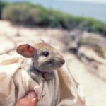 Greater-stick-nest-rat_transferred-from-Revesby-Island-1998_credit-Arid-Recovery-360×240