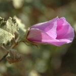 Sand Hibiscus