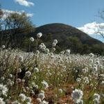 Pom-pom daisies near Mt Finke