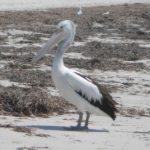 singular_pelican_marion_bay
