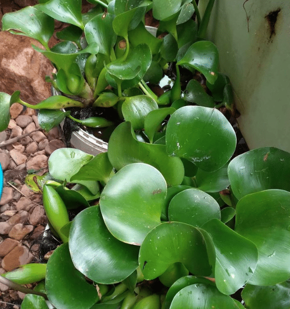 Help needed to trace a Water Hyacinth
