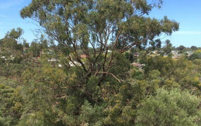 Can you help Friends of Sturt Gorge remove olives threatening old growth grey box eucalypt trees?