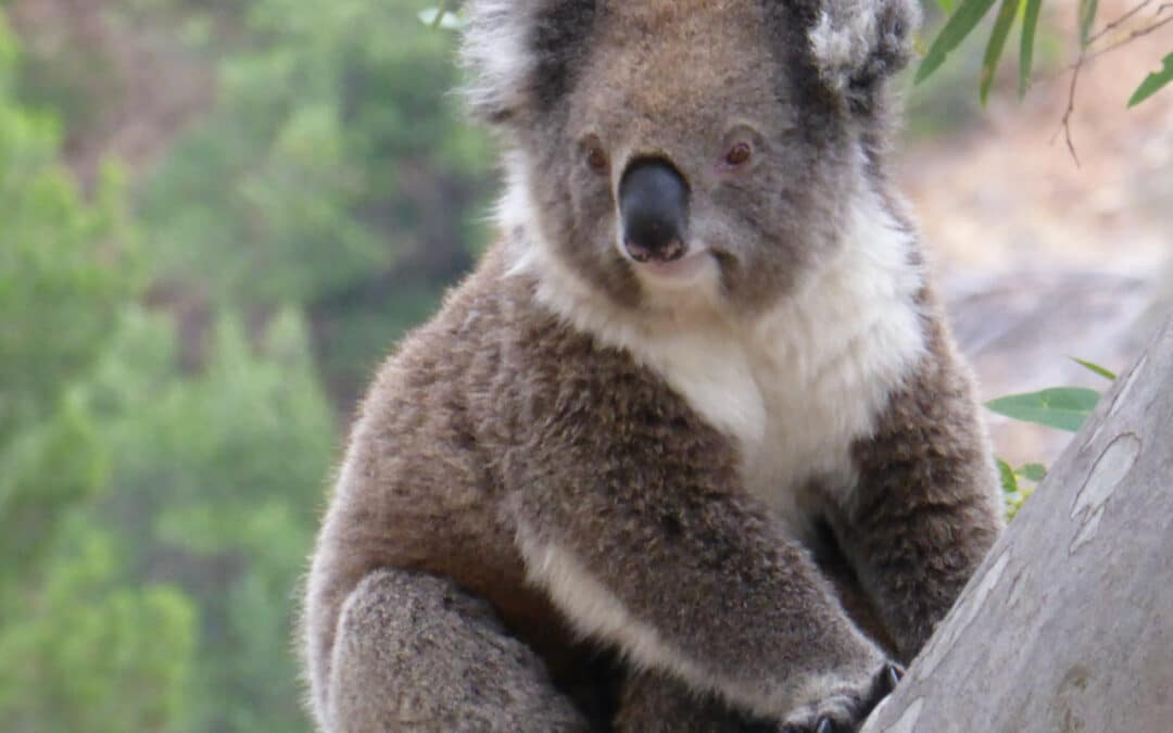 Would you like to Join the Big Koala Hunt in Belair National Park on  Saturday 29th and Sunday the 30th of May ?