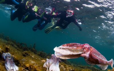Have you ever wanted to snorkel with giant cuttlefish? Experiencing Marine Sanctuaries is offering this as a Park of the Month Activity in July!