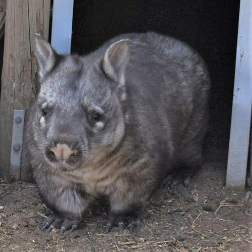 A successful wombat rescue leads to an artwork!