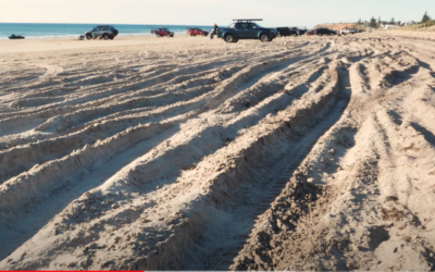 As we head into Summer, Birds SA looks at the effects of 4 wheel driving on beaches on our vulnerable shore-bird communities