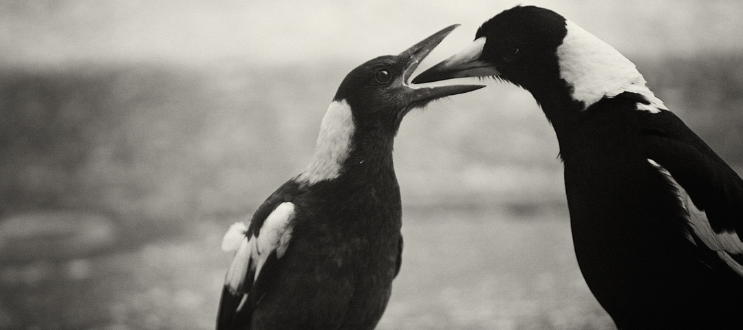 Everything you  need to know about Magpie Swooping Season